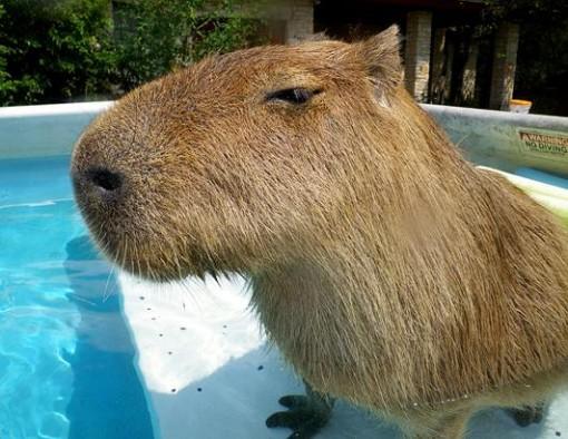 Capybara Swimming Pool May   2013   Squirrel ...