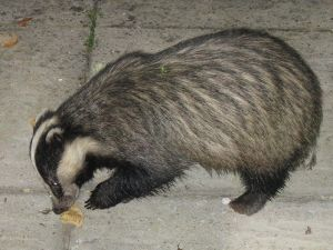 This badger clearly has the hiccups. Why else would he be eating peanut butter?